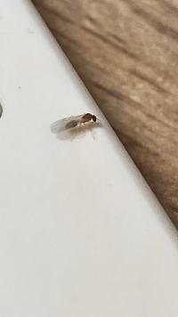 家の中に、体長3mmくらいのこの虫が10匹以上いて、カーテンにたくさん止まっていたのですが、これはなんという虫でどう対処すればいいでしょうか?