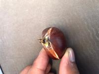 栗の芽が出ていました。 植えたら木になるでしょうか?