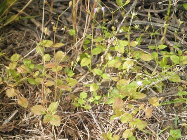 画像の雑草の名前を教えて下さい。よろしくお願いします。 薄紫色の小さな花が咲いています。