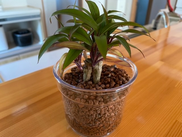 の観葉植物なんだかわかる人いますか? 名前が分からなくて水の量もどれくらいやったらいいのかわかりません、、、 どなたか助けてください ちなみにIKEAで購入しました