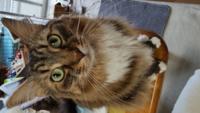 ブリーダーの方から、ノルウェージャンフォレストキャットと言われて譲り受けたのですが、あまりノルウェージャンの特徴がありません。 どちらかと言うとメインクーンぽいのですが、猫種についてご意見をいただけないでしょうか?