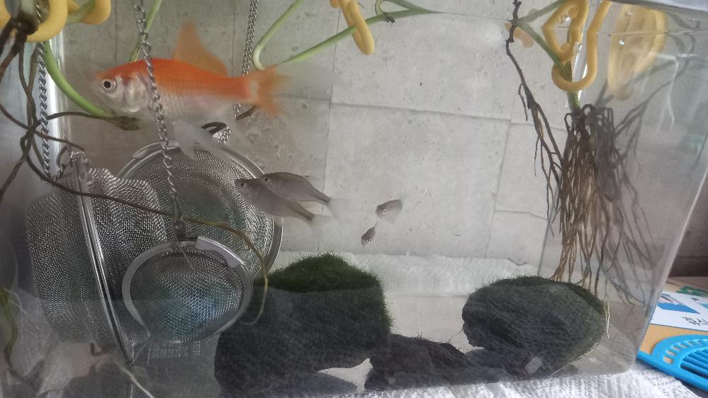 これは何の稚魚でしょうか? 金魚と一緒にしても大丈夫ですか?