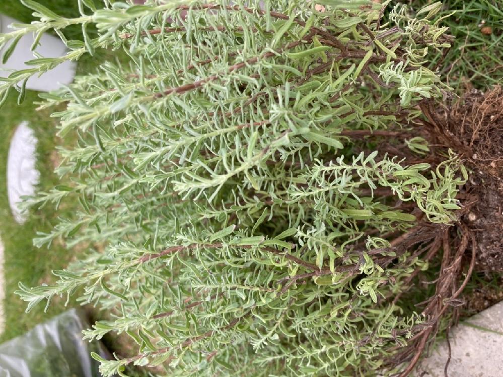これは、何という植物かわかりますか??