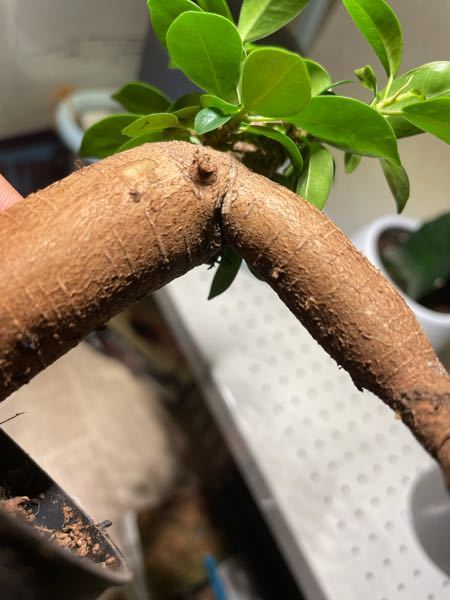このマイ○ーの足のようなガジュマルの根は亀裂か入っているのですが、折れたりするでしょうか?真面目に回答してください。