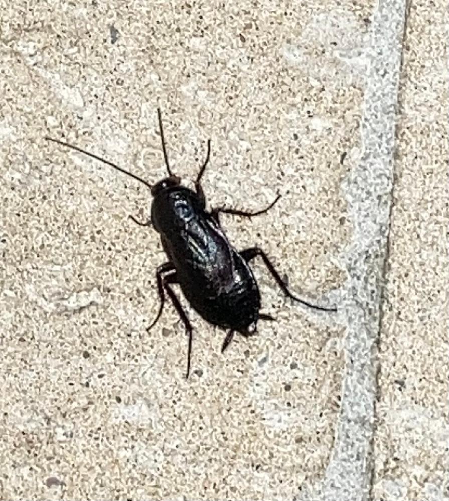 教えて下さい! これは何の虫かお分かりになる方いらっしゃいますか? 最近二度ほど庭に出た虫でゴキブリに似ています。大きさも2センチ位ですが、あまり逃げる事はありません。先程たまたまあったゴキジェットで殺してしまいました。 住んでる地方はかなり夏場も涼しい地域であまりゴキブリの話は聞きませんが、最近近くの古い家が取り壊された後に見かけたということが気になります。 ちなみに家の中では見かけません。 庭でもし繁殖でもしてるなら駆除したいです。 教えていただける方、宜しくお願いします!