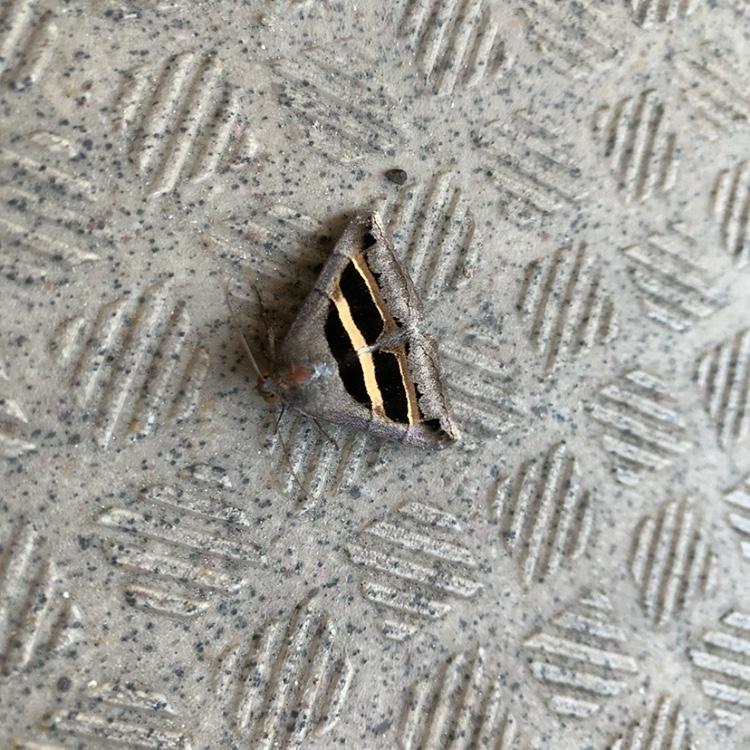 この蛾の名前を教えてください。 自分なりに調べてみたのですが 分かりませんでした。
