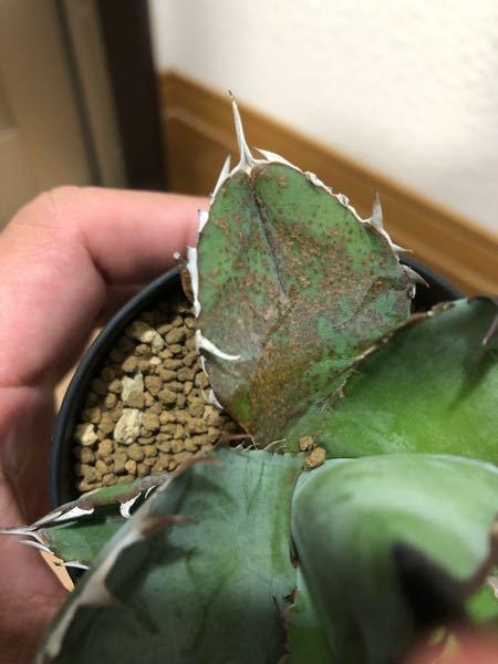 アガベチタノタ ブラック&ブルーの葉にブツブツになって所が数枚の葉にあり荒れています。 これは病気でしょうか?メルカリで購入して本日届いた物ですので今までの環境などもわからないので届い病気で無ければ良いのですが他の植物に感染するといけないのでわかる方がいらしたら教えて頂きたいです。また病気の場合、治療薬など教えて頂けるとありがたいです。