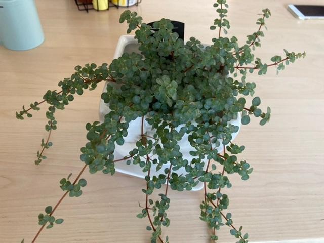 この観葉植物はなんですか? ペペロミアと書いてありましたが、画像検索しても同じような葉っぱが出てきません。種類がたくさんあるみたいですが、「ペペロミア種類」と検索しても同じようなものはでてこないです。 知っている方がいたら教えてください。お願いします。