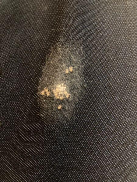 見ていただいてありがとうございます 虫に関する質問です スーツにこんな虫が湧いていました 何でしょうか?ダニみたいな見た目してます
