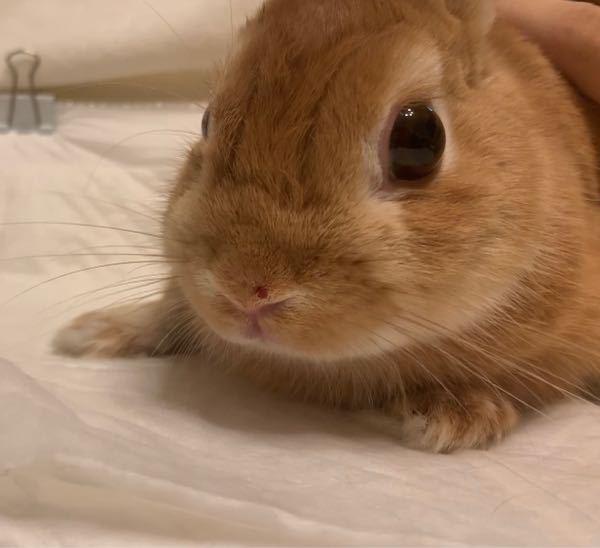 うさぎ飼ってる方、飼っていた方、動物に詳しい方教えていただきたいです。家に帰ると飼っているうさぎの鼻に切り傷のようなものができていました。すぐに獣医さんに診ていただいた方がいいですか?