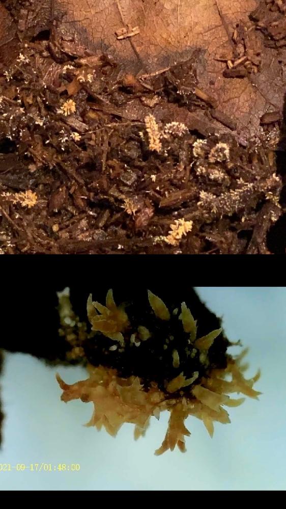 カブトムシの幼虫を飼っている土に黄色いツブツブが発生しました。 粘菌?とかの一種なのでしょうか。 手元の顕微鏡で見るとツノのようなものがたくさん生えてます。 写真は上が肉眼、下が顕微鏡です。 知っ