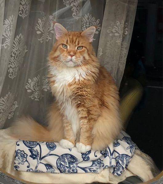この猫の種類を教えてください。非常に可愛いです