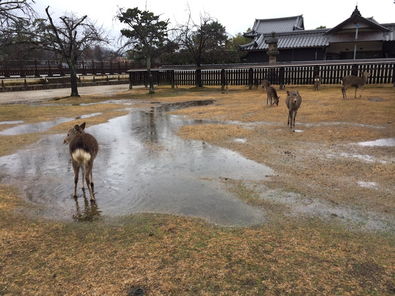 奈良県の鹿は台風や大雨の日は何処で避難してますか?