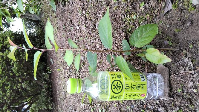 啓翁桜についてお尋ねします。 数年前に啓翁桜を挿し木し、今は庭で150cm程になってます。そして根が延びた所から、新芽が出ています。これを掘り上げて鉢に移して育てた いのですが可能でしょうか?可...