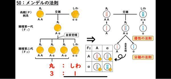 なぜ同じAとaの交雑なのにF1は1つ出来て、F2は4つも出来るのですか?