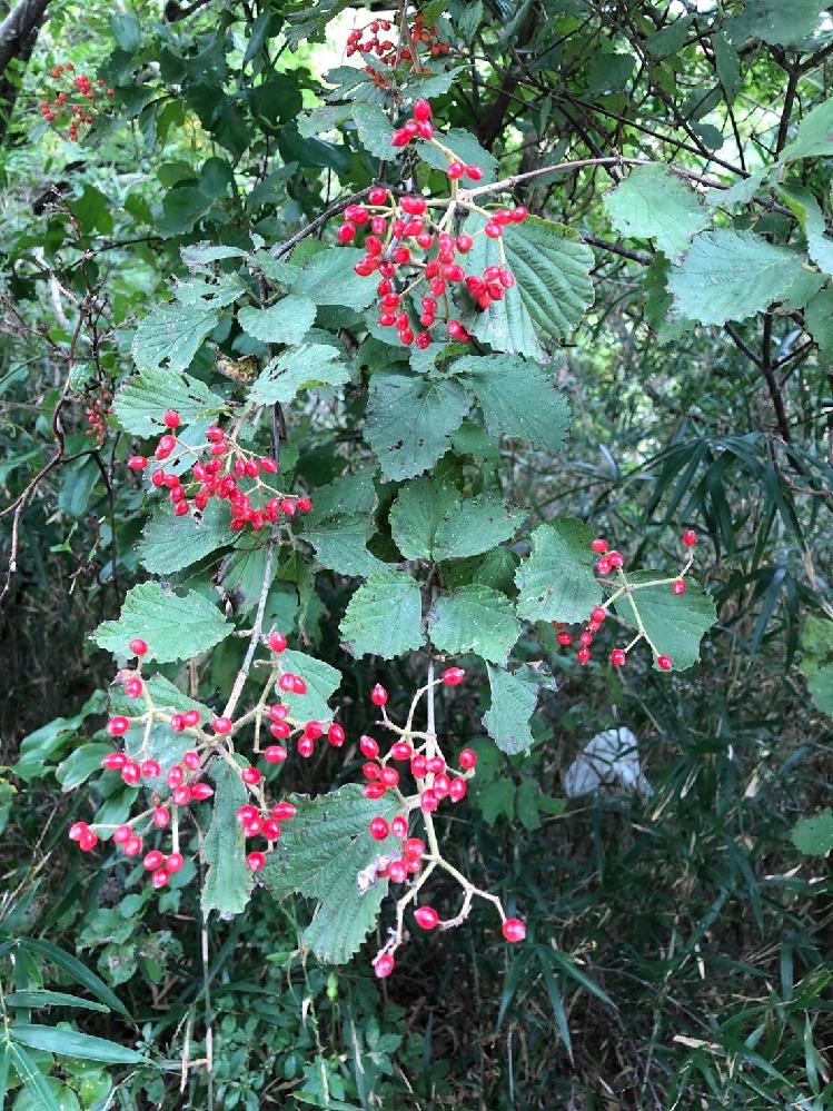 画像の赤い実はなんという植物で、食べられますか? 調べても赤い実の植物が多くて特定できませんでした。 よろしくお願いいたします。