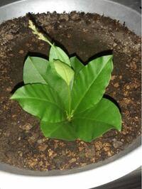 家の植木鉢に知らない葉が咲いていたんですけどどなたかなんの葉かわかりますか?