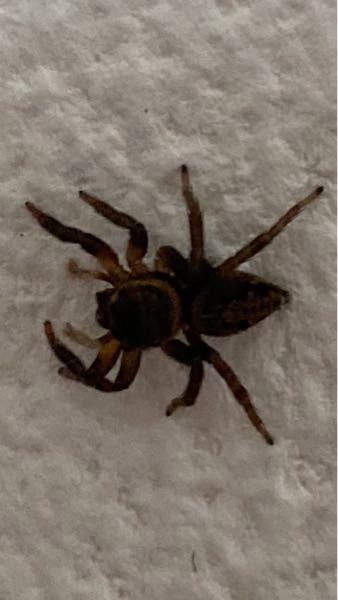 これはなんという蜘蛛でしょうか? 1cm程でぴょんぴょん飛んでます。 出来れば、オスかメスかも教えて欲しいですm(_ _)m