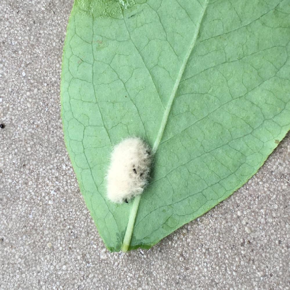 このフワフワしたものは、なんの卵でしょうか? 庭の壁、洗濯竿、ブルーベリーの葉の裏に、ついています。 白いフワフワした1〜2センチの楕円の中に、黒い小さな虫や、白い卵がたくさん入っています。 見つけてはティッシュなどで取り除いています。 ネットで調べてもなんの虫かわかりませんでした。 お分かりの方教えてください。
