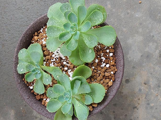 この多肉植物の名前を知ってる方、教えてください。