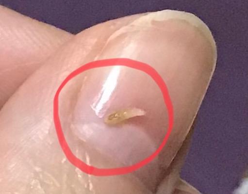 【虫の写真注意】 この小さい虫はなんですか? 親指よりすごく小さいサイズです なぜか座ったときズボンの腿に付いていました(;o;)