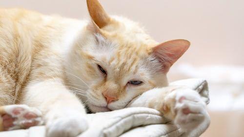 これの猫種を教えてください!!! うちの子もこのタイプで、よく見るのに名前が分かりません。この感じの子は、しっぽがしましまでこんがりしたパンみたいな色してます! 子猫の頃は真っ白で、こんな柄が出てくると思ってもいませんでした!目はブルーです。