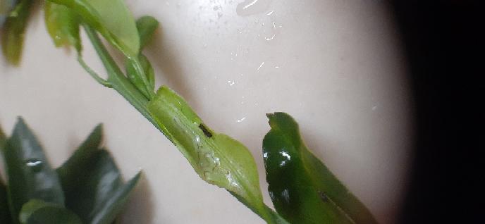 ミカンの木にナミアゲハが産卵し、その枝ごと自宅で育てていますが、偶然にも何か、黒い幼虫も生まれました。これは、なんの幼虫でしょうか。