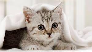 子猫がゲージをすごく嫌がります。 私の知識不足のせいで子猫をゲージに慣れさせる前に先に、部屋に慣れてしまいベッドの布団で落ち着いてしまいました。(完全に甘かったです。) 子猫がもう少し大きくなるまでゲージに慣れて貰いたいのですが、人が大好きでずっと人にくっつこうとします。 ゲージにはトイレ、餌、水(ミルク)、ベッドを置いています。ゲージは少し広めで、布を被せています。 ゲージに入れてもずっと鳴きっぱなし、無視するのも必要と聞いたので無視していたらガシャン!!と聞こえ見てみたら餌に足を突っ込んでいて、下に敷いていた新聞紙をビリビリにしてました…。。先住猫とも慣れさせるためになるべくゲージに入って欲しいのですが…。 先に部屋に慣れてしまいゲージをとても嫌がります。同じような経験がある方、猫に詳しい方、なにかアドバイス下さると幸いです。。