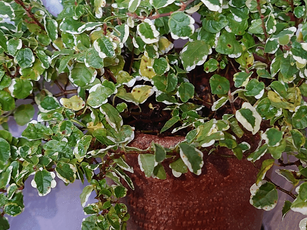 プミラ(サニーホワイト)についてご存知の方お願い致します。 春先からずっと屋外(半日陰)で育てています。 根が出ていたので4月に3号→4号に鉢増ししました。 そろそろ取り込み準備と思っていますが、葉に茶色の斑点があります。 葉焼けかな?程度に思っていたのですが、もし病気だったら屋内にある他の鉢植えにも影響があるんじゃないかと気になっています。 また、最近よく黄色くなった葉が落ちるようになったのでこまめに取っていますが、斑点も含め何が原因でしょうか? 因みに鉢底から根は出ていません。 お詳しい方、宜しくお願い致します。