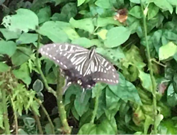 うちの庭によく来る蝶です。 こらは何という蝶ですか??