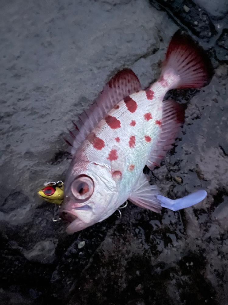 この魚は何の種類でしょうか? 伊東でつりました。宜しくお願い致します。