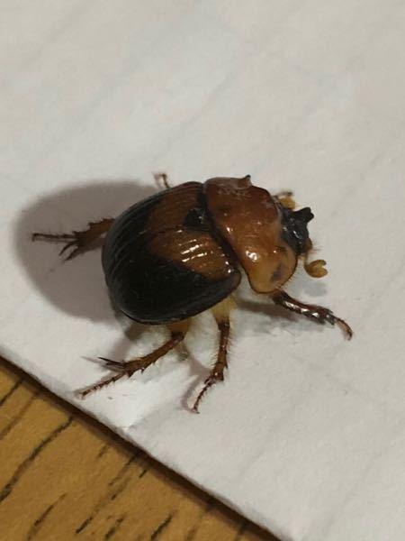 【昆虫の画像注意】 画像の昆虫の名前を教えてください。 ひっくり返っていましたが起き上がれないようでした。 回答よろしくお願いします。