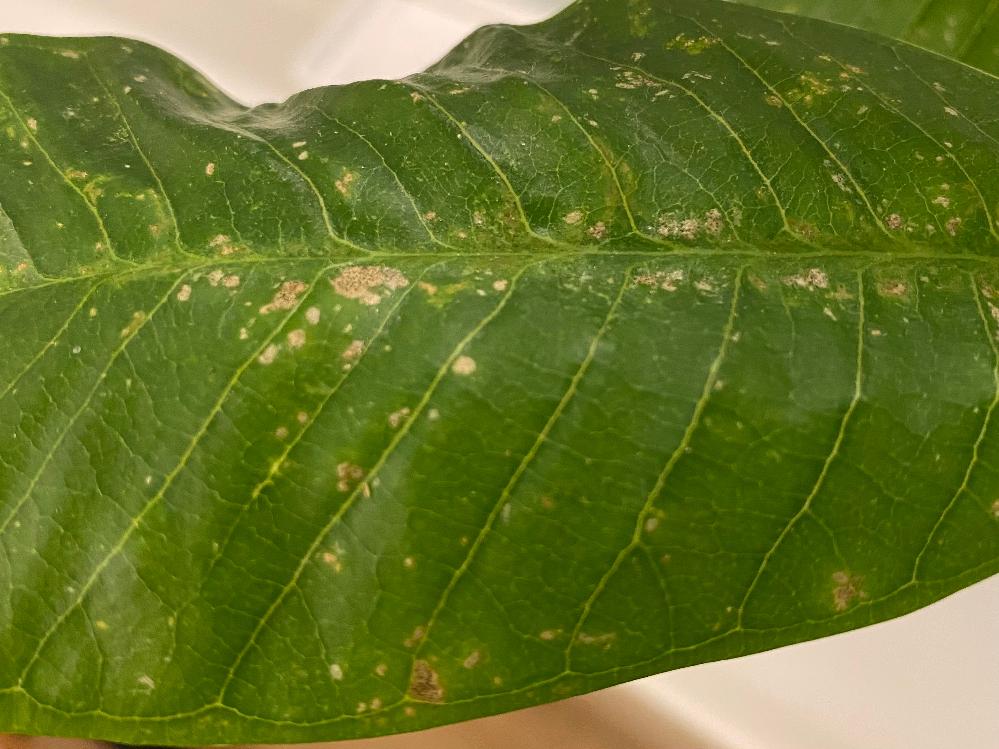 プエラリアの葉が下の写真の様になってます。原因と対処法を教えて下さい。
