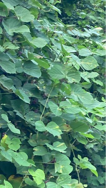 この葉っぱがいっぱいある植物は何ていう名前ですか?