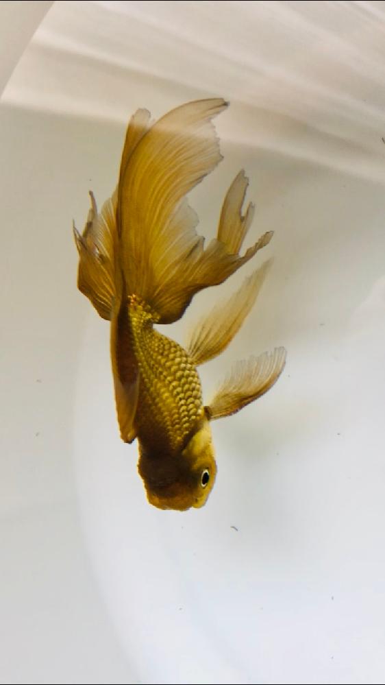 家で飼ってる金魚の種類が知りたいです。 (青文魚か茶金かなとは思ってます、、) あと、エラのところに点々はないんですけど、手のところは点々があります。 こやつはオスですか? あと、金魚コンテス...
