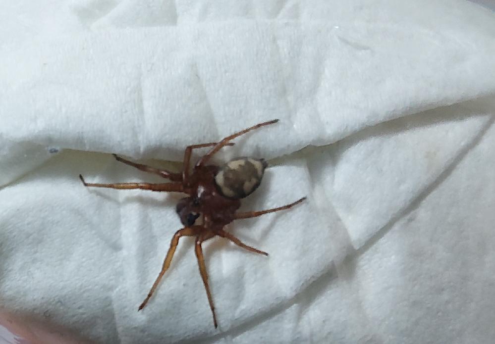画像の蜘蛛の名前を教えて欲しいです 寝ようと思って布団を捲ると見たことのない蜘蛛が出てきました なんという名前の蜘蛛なんでしょうか 噛まれたりしないですかね…?