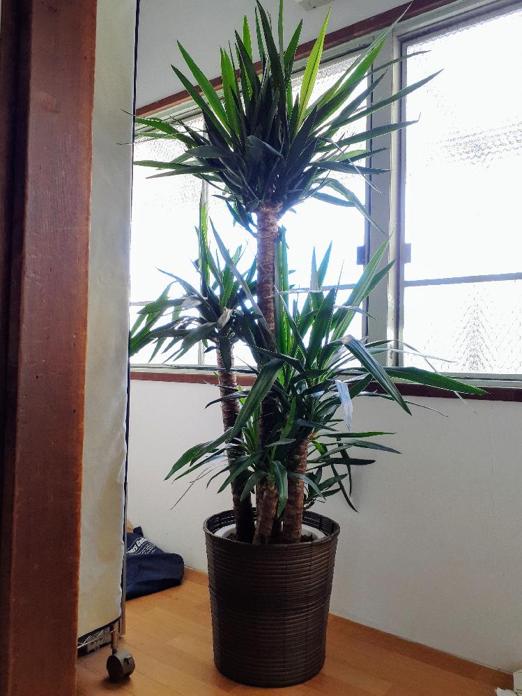 園芸初心者です。 主人がユッカという観葉植物を貰ってきたのですが、大きすぎてジャマで困っています。 下の方に生えている背が低い三本をなくして、背の高い2本だけにしてヤシの木っぽく?したいので、鉢から出して背が低い方を引っこ抜きたいのですが、可能だと思いますか?? 根が切れて大きい方も枯れてしまうでしょうか? (葉が鋭く、小さい子供の目に刺さりそうなので、低いところの木をなくしたいのです。。。)