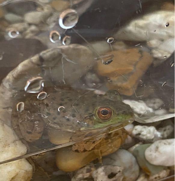 このカエルの種類分かる方教えてください(__)