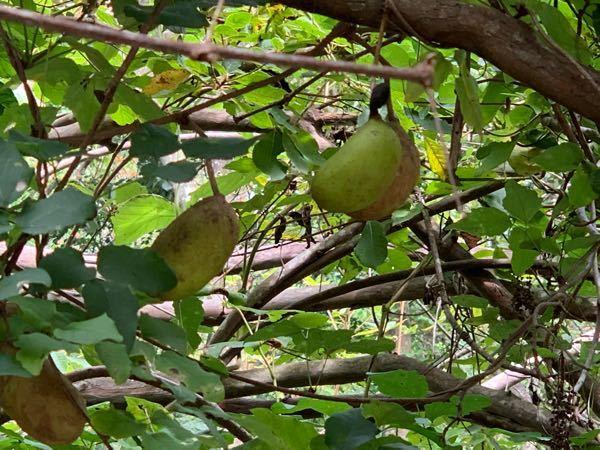この木の実は何ですか?食べられますか?