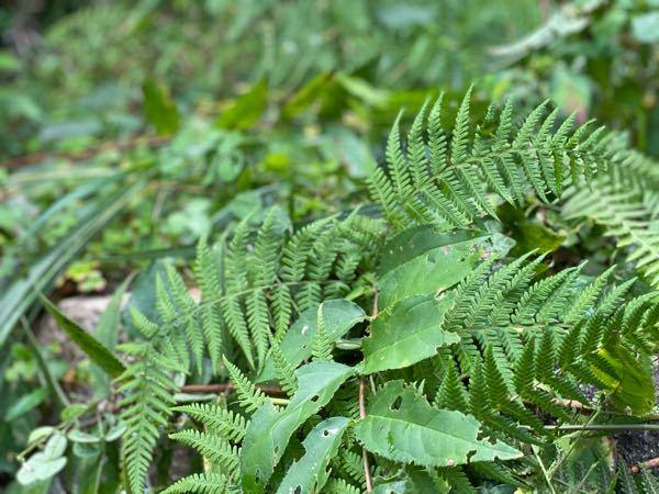 このギザギザの葉は何て言う名前ですか?