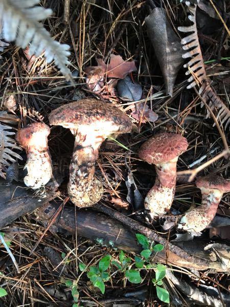 トレッキング中に沢山生えてた 松茸に似たキノコですが何という名前の キノコでしょうか? 食べられるでしょうか?