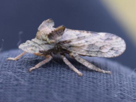 この昆虫の名前を教えてください。 奈良県御杖村にある三峰山頂上(1235m)で見つけました。