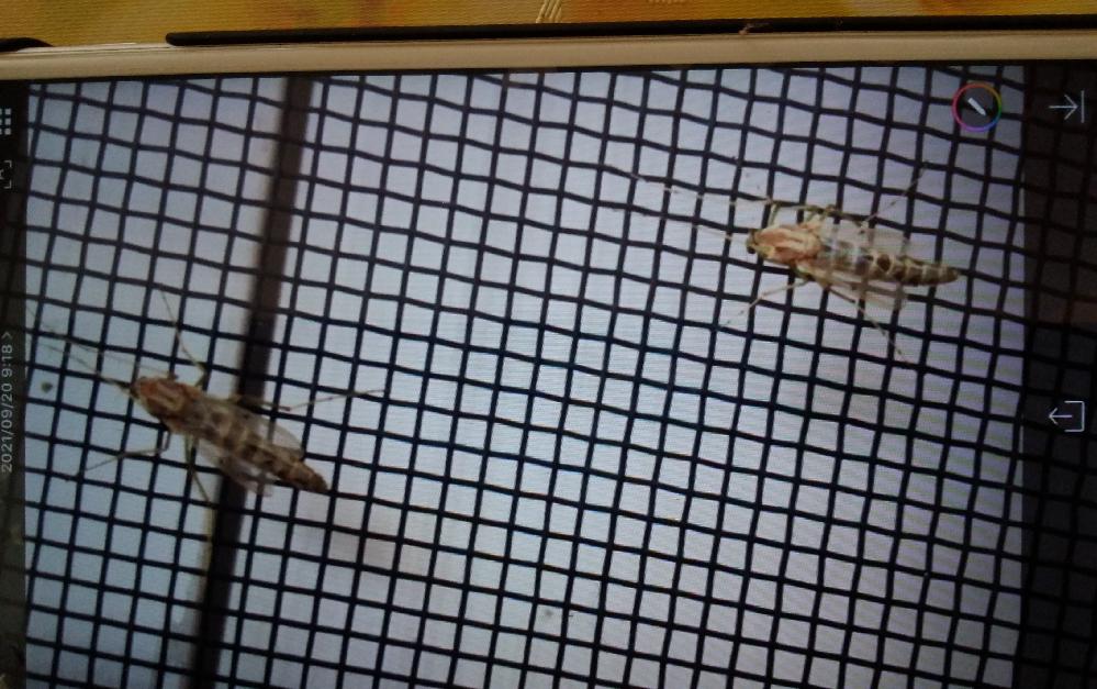これはなんの虫でしょうか 夜 ミーミーうるさいです