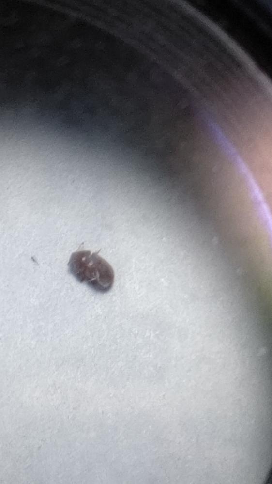 この虫はなんですか? 0.5~1ミリくらいで、チョロチョロ歩きますが飛ばないみたいです。以前、よく似た虫が足首あたりをはっていて、水ぶくれになり、すごく痒くなったのできになりました。お願いします。