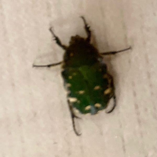 この虫はなんの虫ですか? 洗濯物を取り込んでいるときに部屋に入ってきました。 刺激を与えると死んだふりをします。