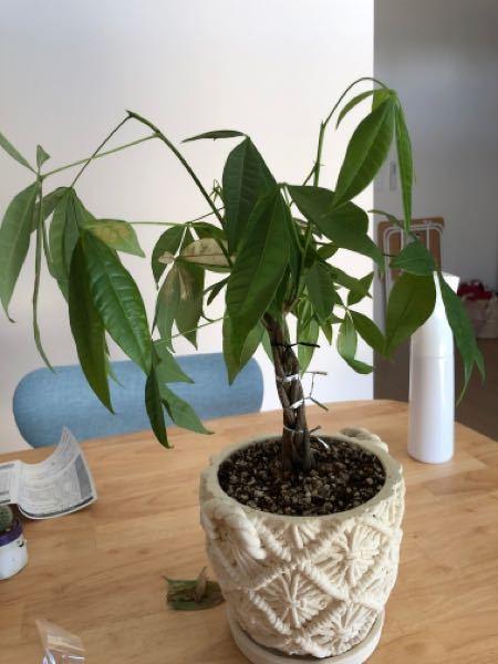 どなたか詳しい方教えてください。 先月パキラを購入し、直射日光が当たらない場所で育てていたのですが、数日前から葉全体が下に垂れ下がったようになり、そのうちの1本の幹が触るとブニョブニョです。 色々調べる と日光に当てた方がいいとあったので、昨日ベランダにおいて水をたっぷりとあげたのですが、今度は恐らく葉焼け?してしまいました。 水やりは土がかわいたら適量を、また、霧吹きで葉全体にもかけるようにしていました。 このパキラは復活不可能でしょうか? どなたか教えてください。よろしくお願い致します。