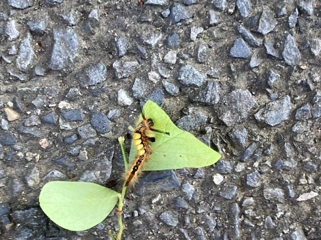 閲覧注意かも。この画像の幼虫は何ですか? はじめて見ました。これは何になるんでしょうか。