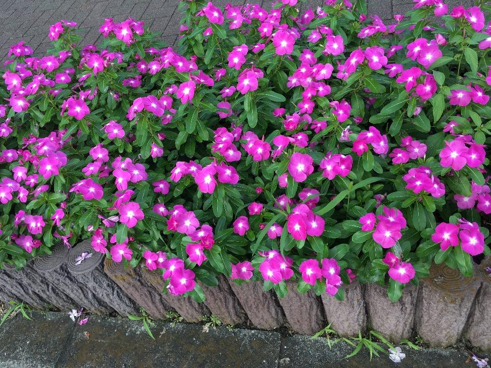 通りの花壇に咲いていた花(写真はピンクの花ですが白い花もありました)ですが、何の花でしょうか?