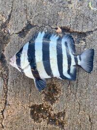 この魚は何でしょうか? 20匹くらい釣れました 食べられますか?