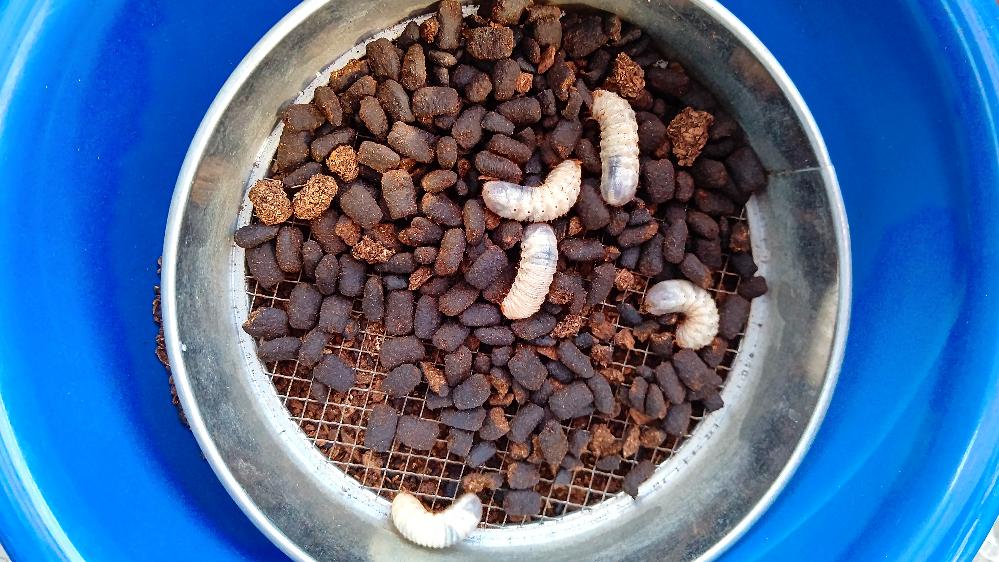 ヤフオクでヘラクレスの幼虫を購入 致しましたが、マット替えの際見た事の 無い小さい幼虫が10匹以上出てきました。ヘラクレスの幼虫は3令になりかなり大きくなってましたが、小さい幼虫で 動きも早い感じでした。恐らくは購入した方から入って来た物だと思いますが、 自分でもマット替えをしてるので、 どこから紛れた幼虫かは判断出来ませんが他から購入した幼虫からは一切入って無いので、一緒に入って来たのでは無いかと思われます。どなたかお分かりの方おられましたら教えて頂け無いでしょうか?よろしくお願い致します。